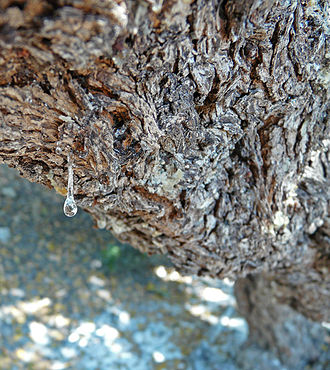 Mastic (plant resin) - A single drop of mastic hangs from the underside of this branch on a mastic tree.