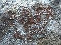 Granite Firedot Lichen (2972621602).jpg