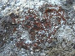 240px granite firedot lichen (2972621602)