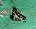 Graphium doson Felder & Felder, 1864 – Common Jay - at Kannavam RF (17).jpg