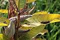 Grasshoppers on milkweed (15327983911).jpg