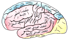 Gray's Anatomy plate 517 brain-ar.png