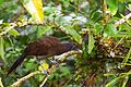 Gray-headed Chachalaca (24820008430).jpg