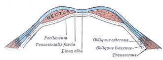 Transverse fascia - Image: Gray 400