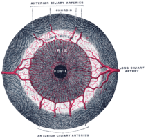 Iris anatomy Wikipedia
