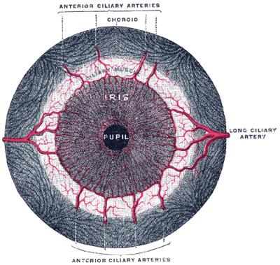 Músculo esfínter de la pupila - Wikiwand