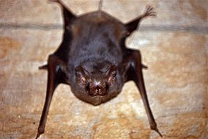 Gray Sac-winged Bat (Balantiopteryx plicata) (24776812271).jpg