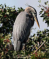 Great Blue Heron at the rookery (3344097458).jpg