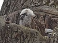 Great Horned Owl nest (33290888556).jpg