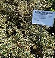 Great Swamp Greenhouse photos Ilex Aquifolium Aureomarginata.JPG