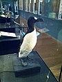 Great auk, Treasures Exhibition, Natural History Museum 09.jpg