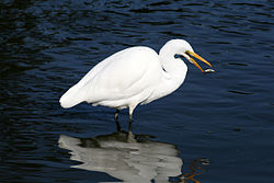 Great egret and a fish in GGP 111.jpg