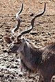 Greater Kudu (Tragelaphus strepsiceros) male ... (50216805488).jpg