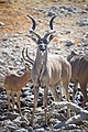 Greater Kudu Alert 2019-07-28.jpg