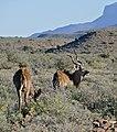 Greater Kudus (Tragelaphus strepsiceros) (32383791780).jpg