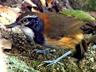 Greater necklaced laughingthrush - Image: Greater Necklaced Laughing Thrush