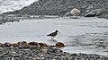 Greater Yellowlegs (Tringa melanoleuca) - Witless Bay, Newfoundland 2019-08-09 (01).jpg