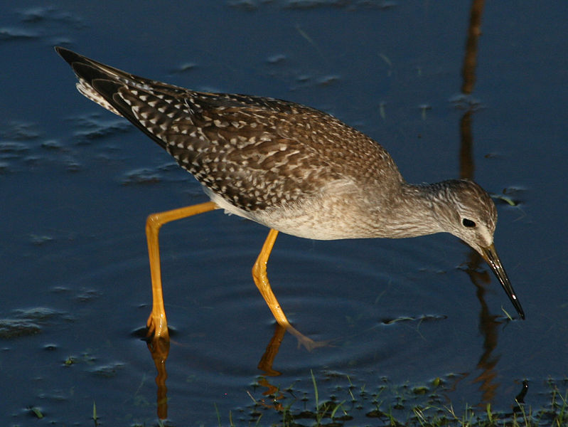 File:Greater Yellowlegs (Tringa melanoleuca) RWD11.jpg