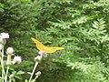 Greek butterflies2.jpg