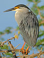 Green-backed Heron (Butorides striata) (16373156567).jpg