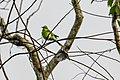 Green Bee-eater (Merops orientalis) & Purple Sunbird - winter male (Cinnyris asiatica), Kumana NP, Sri Lanka.jpg