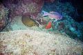 Green Eel at Malmock Reef Aruba (2916428520).jpg