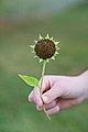 Green Sunflower Seedhead (5054050285).jpg