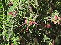 Grevillea lanigera (23984228168).jpg
