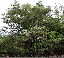 Grewia tiliaefolia tree in Chilkur, Hyderabad W IMG 9418.jpg