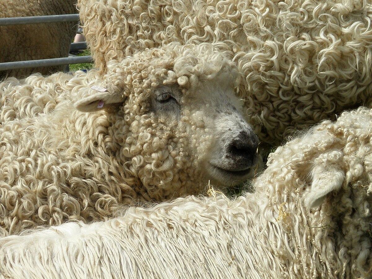 Hickman v Kent or Romney Marsh Sheep-Breeders' Association - Wikipedia