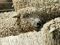 Grey Faced Dartmoor.jpg