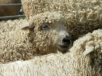 Hill farming - A Grey Faced Dartmoor sheep