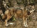 Grey Wolf (355647915).jpg