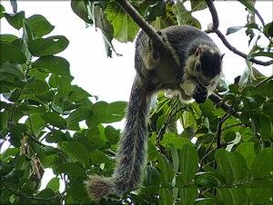 Cauvery Wildlife Sanctuary - Grizzled giant squirrel in the Cauvery Wildlife Sanctuary