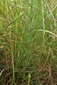 Grossenlueder Mues Kalkberge Equisetum arvense.png