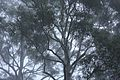 Gum Trees in the Sydney Winter Fog, New South Wales, Australia (3593082913).jpg