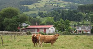 Guriezo - Cattle in Adino, Guriezo.