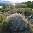 Gypsophila paniculata near the Columbia River 1.jpg