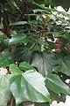HK 上環 Sheung Wan 水坑口街 Possession Street Footbridge green leaves Candlenut 石栗樹 Aleurites moluccana tree Sept 2017 IX1 03.jpg