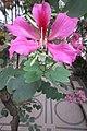 HK 灣仔 Wan Chai 皇后大道東 Queen's Road East 胡忠大廈 Wu Chung House Rest Garden West wing 宮粉羊蹄甲 Bauhinia variegata flower pink Nov 2017 IX1 01.jpg