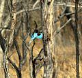 Halcyon smyrnensis in flight, Satpura Tiger Reserve, Madhai, Madhya Pradesh.jpg