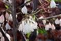 Halesia tetraptera Arnold Pink 0zz.jpg