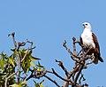 Haliastur indus -Karratha, Pilbara, Western Australia, Australia-8.jpg