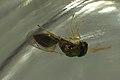 Halticoptera laevigata (36405900311).jpg