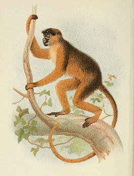 265px-Handbook_to_the_Primates_Plate_33.