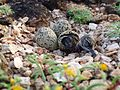 Hatching Kentish Plover.jpg
