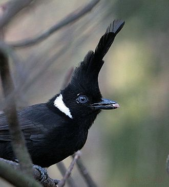 Corvidae - Crested Jays were thought to be in this family but may be a type of helmetshrike instead.