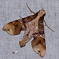 Hawkmoth (Callionima parce) (37958759834).jpg