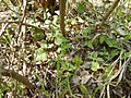 Hedera helix (Araliaceae) 02.jpg