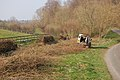 Hedge-laying next to country lane - geograph.org.uk - 386062.jpg